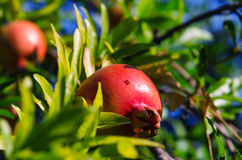 GROWING GARNET. Ripe pomegranate on a tree. Growing garnet with ant Royalty Free Stock Images