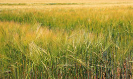Growing golden corn or barley for cereals. Stock Images