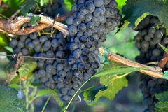 Growing grape Stock Photography