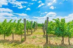 Growing grape Royalty Free Stock Image