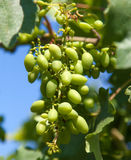 Growing grapes close-up in nature Stock Photo