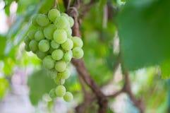 Growing grapes green on bush Stock Photos