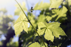 Growing grapes. Small grapes growing in the garden Stock Image