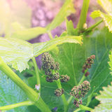 Growing grapes: Spring Vine Closeup Stock Images