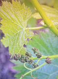 Growing grapes: Spring Vine Closeup Stock Photo