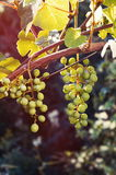 Growing grapes in sunset Stock Photo