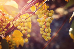 Growing grapes in sunset Stock Photos
