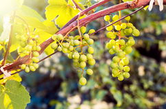 Growing grapes in sunset Stock Images