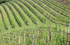 Growing grapes in a vine Stock Images