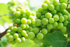 Growing Grapes On Vineyard. A branch of green grapes Focus on Front Stock Images
