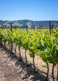 Growing grapevines, winery in Casablanca valley, Chile Royalty Free Stock Photo