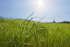 Growing grass. Stock Photography