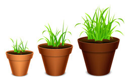Growing grass. Three terracotta pots with growing grass Stock Images