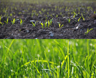 Growing grass in two stages Stock Photo