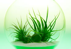 Growing Green - Air Plant Terrarium Royalty Free Stock Photos