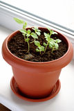 Growing Green Basil Royalty Free Stock Image