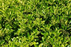 Green bush. Growing green bush background on sunny day stock photography