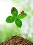 Growing green clover with the ladybugs Stock Photography