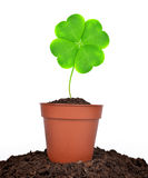 Growing green clover leaf in pot Stock Image