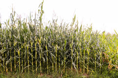 Growing Green Corn Field Stock Photos