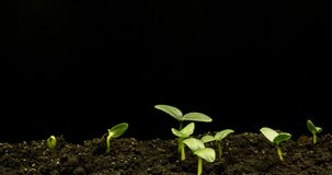 Growing green cucumber plant time lapse. Timelapse seed growing, Closeup nature agriculture shoot. Vegetable sprouting