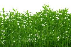 Growing green flax Stock Photos