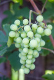 Growing green grapes Royalty Free Stock Image