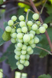 Growing green grapes Stock Images