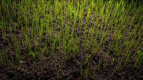 Growing green grass plant stock video