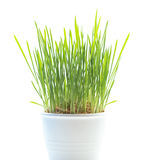 Growing green grass in pot isolated on white Royalty Free Stock Photo
