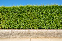 Growing green hedge on land terrace on blue sky background. Growing green hedge on concrete terrace on blue sky background Stock Photography