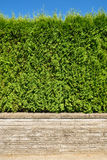 Growing green hedge on land terrace on blue sky background. Growing green hedge on concrete terrace on blue sky background Stock Images
