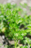 Growing of green leaves of parsley. In the garden Stock Photos