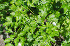 Growing of green leaves of parsley. In the garden Stock Image
