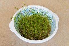 Growing green lentil sprouts Royalty Free Stock Photo