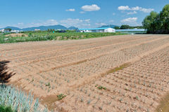 Growing green onion beds in the field in Korean countryside Stock Images