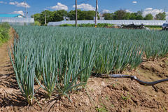 Growing green onion at the farm  field Royalty Free Stock Photo