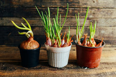 Growing green onions in a pot at хьоме. green onions or sca Stock Photography