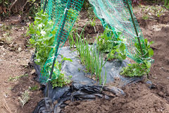 Growing green pea and green onions at the same place Royalty Free Stock Photo