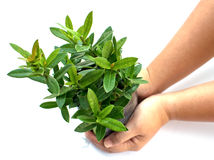 Growing green plant in cultured bags on a hand. On white background Royalty Free Stock Images