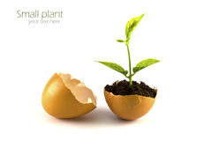 Growing green plant in egg shell isolated Royalty Free Stock Photography