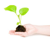 Growing green plant in a hand Royalty Free Stock Image