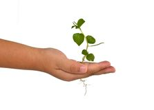Growing green plant in a hand. Growing green plant in a child hand Stock Images