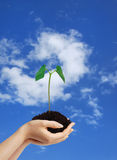 Growing green plant in the hands royalty free stock photo