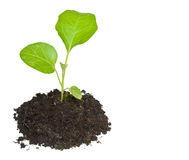 Growing green plant isolated Stock Photos