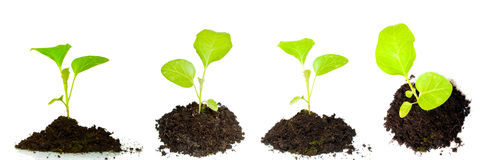 Growing green plant Royalty Free Stock Image