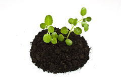 Growing green plants in soil. Isolated on white Stock Photos