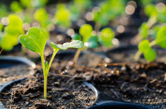 Growing green sprout Royalty Free Stock Image