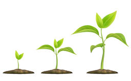 Growing green sprout. Stages of plant growth. Green sprout grows from the ground. Realistic vector illustration. It symbolizes life and development and ecology Royalty Free Stock Photo