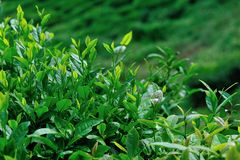 Growing green tea trees Royalty Free Stock Images